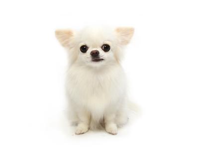 エムドッグス,動物プロダクション,ペットモデル,ペットタレント,モデル犬,タレント犬,チワワ,雪,