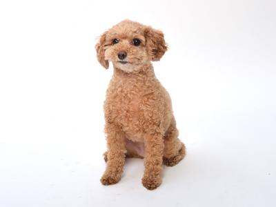 エムドッグス,動物プロダクション,ペットモデル,ペットタレント,モデル犬,タレント犬,トイプードル,スマイル