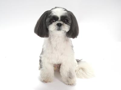 エムドッグス,動物プロダクション,ペットモデル,ペットタレント,モデル犬,タレント犬,シーズー,ぺぺ,