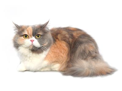 エムドッグス,動物プロダクション,ペットモデル,ペットタレント,モデル猫,タレント猫,MIX猫,ショパン