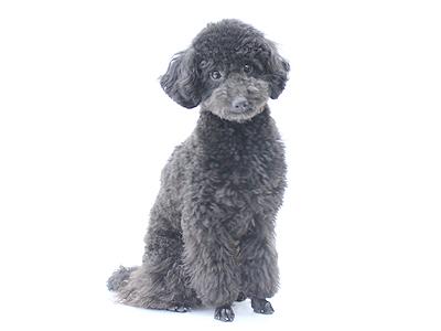 エムドッグス,動物プロダクション,ペットモデル,ペットタレント,モデル犬,タレント犬,トイプードル,黒太