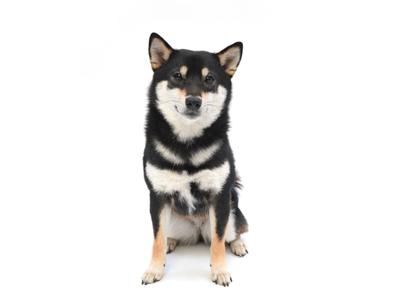 エムドッグス,動物プロダクション,ペットモデル,ペットタレント,モデル犬,タレント犬,柴犬,ゆず,