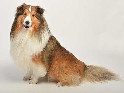 エムドッグス,動物プロダクション,ペットモデル,ペットタレント,モデル犬,タレント犬,シェットランドシープドッグ,オレオ,
