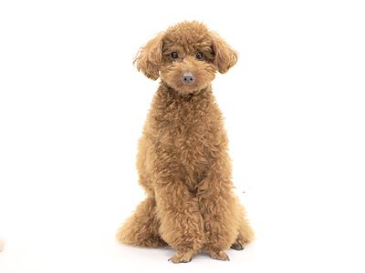 エムドッグス,動物プロダクション,ペットモデル,ペットタレント,モデル犬,タレント犬,トイプードル,茶太