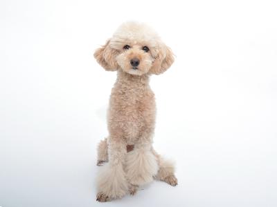 エムドッグス,動物プロダクション,ペットモデル,ペットタレント,モデル犬,タレント犬,トイプードル,麦太
