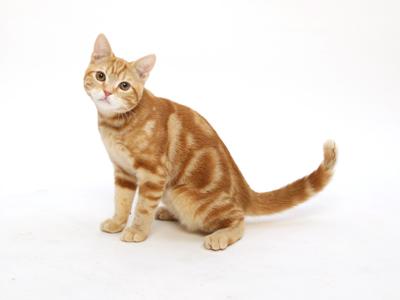 エムドッグス,動物プロダクション,ペットモデル,ペットタレント,モデル猫,タレント猫,アメリカンショートヘア,グレン