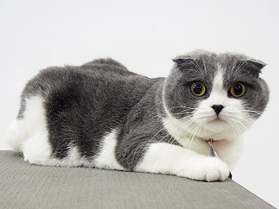エムドッグス,動物プロダクション,ペットモデル,ペットタレント,モデル猫,タレント猫,スコティッシュフォールド,銀太郎