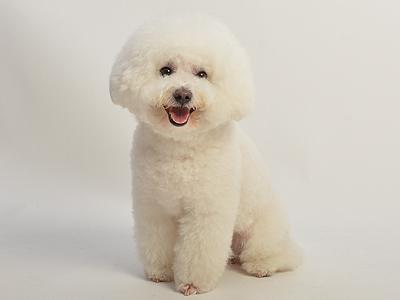 エムドッグス,動物プロダクション,ペットモデル,ペットタレント,モデル犬,タレント犬,ビションフリーゼ,PEARL(パール),