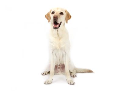 エムドッグス,動物プロダクション,ペットモデル,ペットタレント,モデル犬,タレント犬,ラブラドールレトリーバー,コハク,