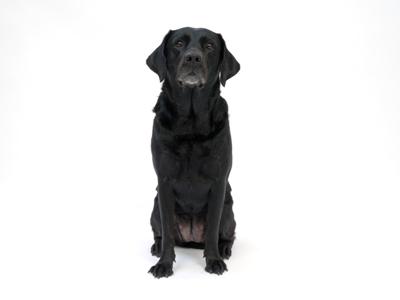 エムドッグス,動物プロダクション,ペットモデル,ペットタレント,モデル犬,タレント犬,ラブラドールレトリーバー,グロリア,