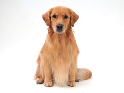 エムドッグス,動物プロダクション,ペットモデル,ペットタレント,モデル犬,タレント犬,ゴールデンレトリーバー,サン,