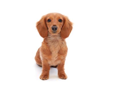 エムドッグス,動物プロダクション,ペットモデル,ペットタレント,モデル犬,タレント犬,ミニチュアダックスフンド,ウィンクル