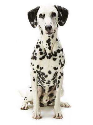 エムドッグス,動物プロダクション,ペットモデル,ペットタレント,モデル犬,タレント犬,ダルメシアン,シュウ,