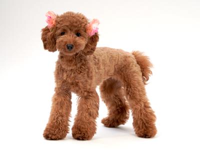 エムドッグス,動物プロダクション,ペットモデル,ペットタレント,モデル犬,タレント犬,トイプードル,リノア