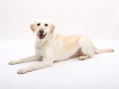 エムドッグス,動物プロダクション,ペットモデル,ペットタレント,モデル犬,タレント犬,ラブラドールレトリーバー,詩音