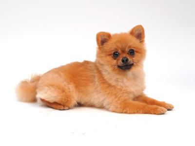 エムドッグス,動物プロダクション,ペットモデル,ペットタレント,モデル犬,タレント犬,ポメラニアン,ポン太