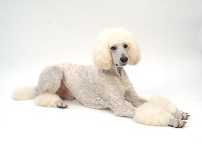 エムドッグス,動物プロダクション,ペットモデル,ペットタレント,モデル犬,タレント犬,スタンダードプードル,ジジ