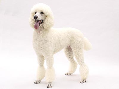 エムドッグス,動物プロダクション,ペットモデル,ペットタレント,モデル犬,タレント犬,スタンダードプードル,ニーナ