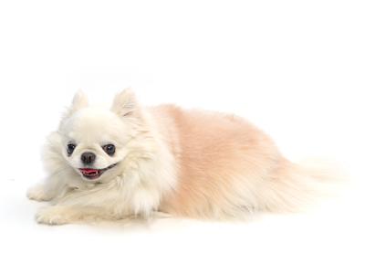エムドッグス,動物プロダクション,ペットモデル,ペットタレント,モデル犬,タレント犬,チワワ,クウ