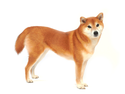 エムドッグス,動物プロダクション,ペットモデル,ペットタレント,モデル犬,タレント犬,柴犬,こなつ