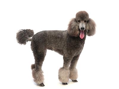 エムドッグス,動物プロダクション,ペットモデル,ペットタレント,モデル犬,タレント犬,スタンダードプードル,ベリー