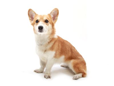 エムドッグス,動物プロダクション,ペットモデル,ペットタレント,モデル犬,タレント犬,ウェルシュコーギー,クレア