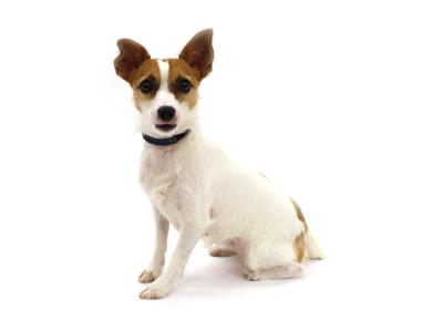 エムドッグス,動物プロダクション,ペットモデル,ペットタレント,モデル犬,タレント犬,ジャックラッセルテリア,すみれ