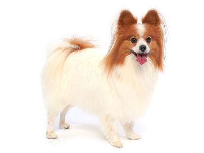 エムドッグス,動物プロダクション,ペットモデル,ペットタレント,モデル犬,タレント犬,パピヨン,日向