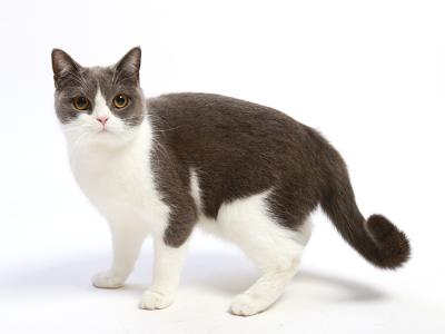 エムドッグス,動物プロダクション,ペットモデル,ペットタレント,モデル猫,タレント猫,ブリティッシュショートヘア,瑠璃