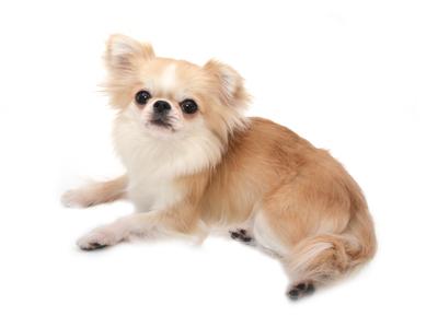 エムドッグス,動物プロダクション,ペットモデル,ペットタレント,モデル犬,タレント犬, チワワ,こま