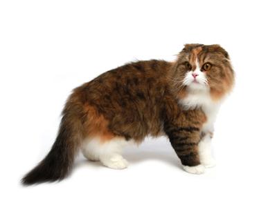 エムドッグス,動物プロダクション,ペットモデル,ペットタレント,モデル猫,タレント猫,     スコティッシュフォールド,小豆