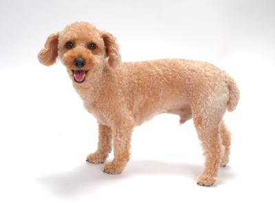 エムドッグス,動物プロダクション,ペットモデル,ペットタレント,モデル犬,タレント犬,トイプードル,フク