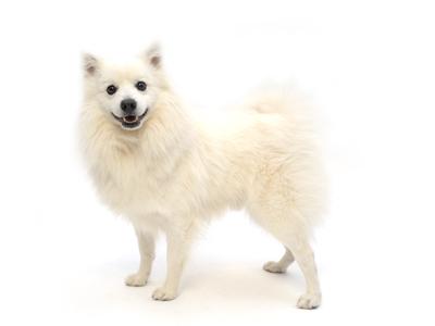エムドッグス,動物プロダクション,ペットモデル,ペットタレント,モデル犬,タレント犬,日本スピッツ,Coco,ココ