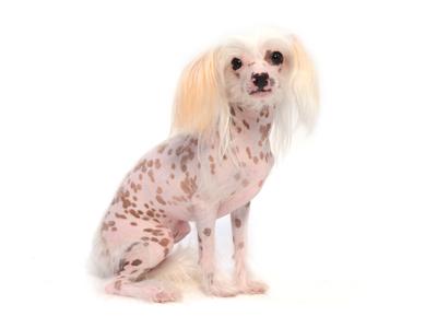 エムドッグス,動物プロダクション,ペットモデル,ペットタレント,モデル犬,タレント犬,チャイニーズクレステッドドッグ,ジャスミン