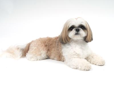 エムドッグス,動物プロダクション,ペットモデル,ペットタレント,モデル犬,タレント犬,シーズー,華丸