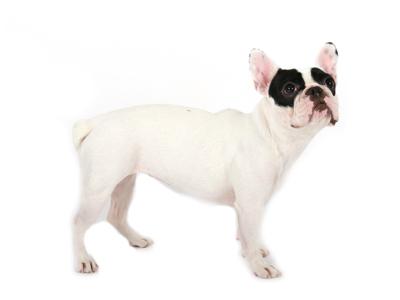 エムドッグス,動物プロダクション,ペットモデル,ペットタレント,モデル犬,タレント犬,フレンチブルドッグ,小雪