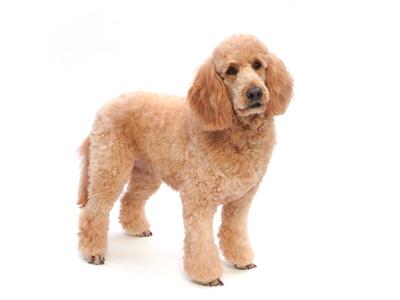 エムドッグス,動物プロダクション,ペットモデル,ペットタレント,モデル犬,タレント犬,ゴールデンドゥードル,サラ