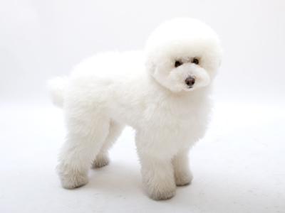エムドッグス,動物プロダクション,ペットモデル,ペットタレント,モデル犬,タレント犬,トイプードル,もある