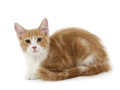 エムドッグス,動物プロダクション,ペットモデル,ペットタレント,モデル猫,タレント猫,メインクーン,きなこ