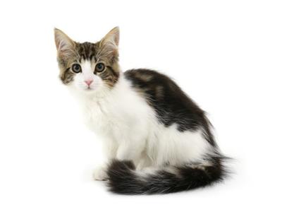 エムドッグス,動物プロダクション,ペットモデル,ペットタレント,モデル猫,タレント猫,メインクーン,ホル