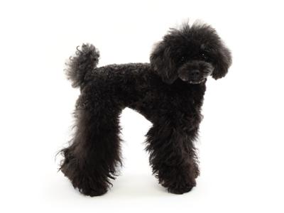 エムドッグス,動物プロダクション,ペットモデル,ペットタレント,モデル犬,タレント犬,トイプードル,ココア