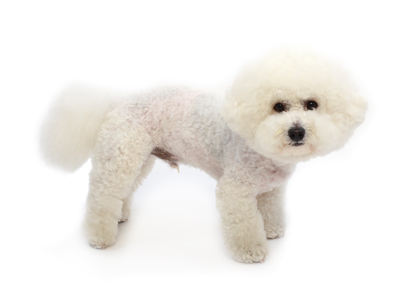 エムドッグス,動物プロダクション,ペットモデル,ペットタレント,モデル犬,タレント犬,ビションフリーゼ,むぅ