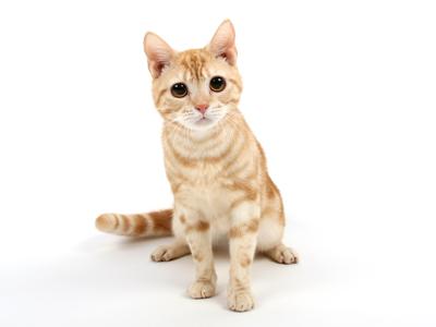 エムドッグス,動物プロダクション,ペットモデル,モデル猫,アメリカンショートヘアー,虎鉄(こてつ)