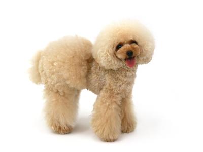 エムドッグス,動物プロダクション,ペットモデル,ペットタレント,モデル犬,タレント犬,トイプードル,integra,インテ