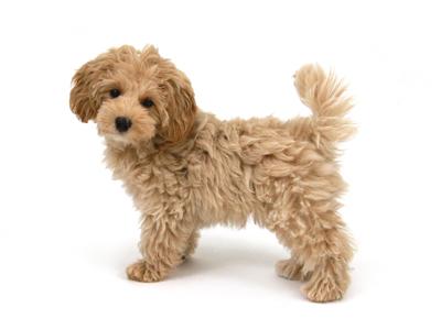 エムドッグス,動物プロダクション,ペットモデル,ペットタレント,モデル犬,タレント犬,MIX犬,Daniel,ダニエル